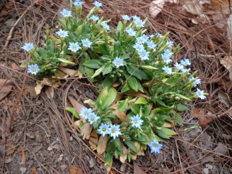 Alpine-like flowers
