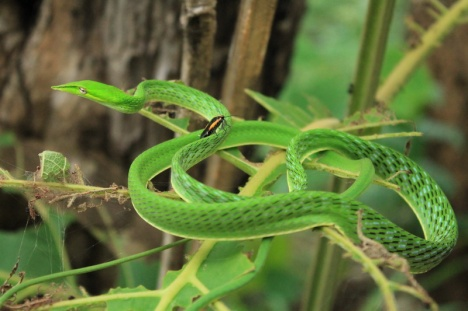 Green whip snake-photo by Pam