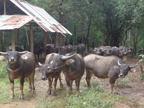 DSC03169 water buffalo