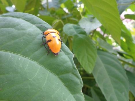 DSC05940 yellow beetle 1