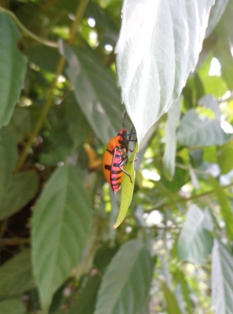 DSC05942 yellow beetle 2